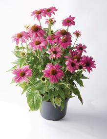 byliny kwitnące do ogrodu jeżówka purpurowa