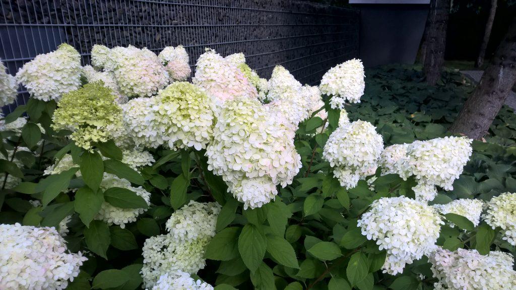 hortensja bukietowa w ogrodzie przydomowym który stworzyliśmy