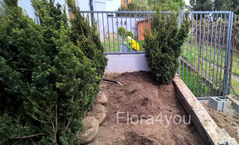 Sadzenie krzewów cisa pośredniego w odmianie hilli