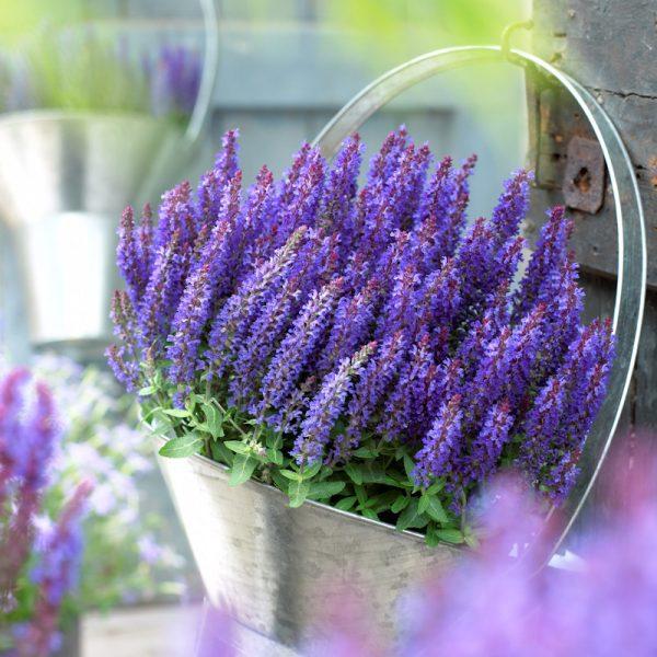 sklep byliny z szałwia omszona deep blue to kwiat wieloletni do ogrodu
