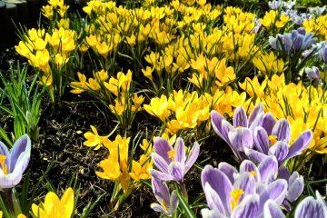 wiosenne kwiaty w ogrodzie krokusy i szafirki w różnych kolorach