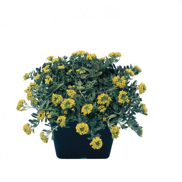 smagliczka górska, zdjęcia sadzonek w okresie kwitnienia