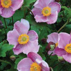 zawilec japoński kwiaty