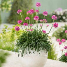 zawciąg nadmorski z kwiatami w doniczce