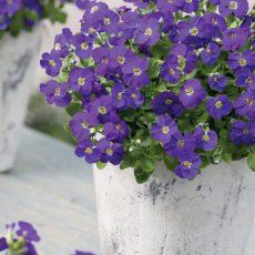żagwin ogrodowy blue