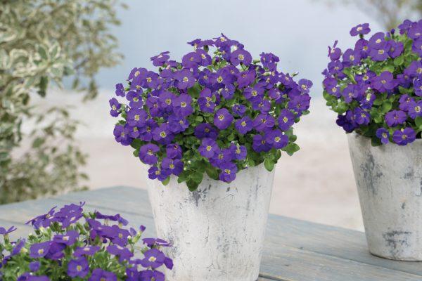 kwiaty ogrodowe w doniczkach na tarasie