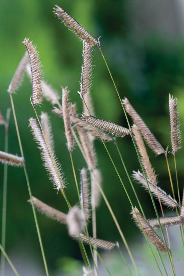 sadzonki fajnej trawy butelua smukła