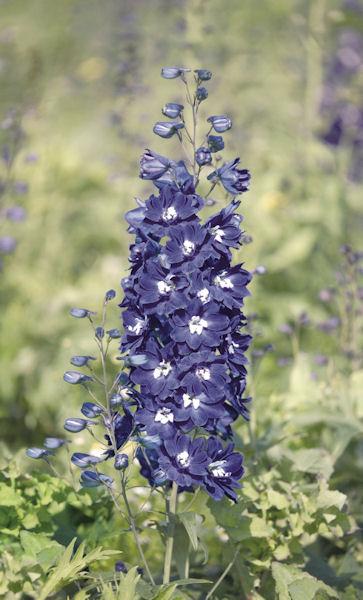 zblzienie na kwiatostan ostrozki ogrodowej blue bird