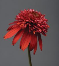echinacea raspberry