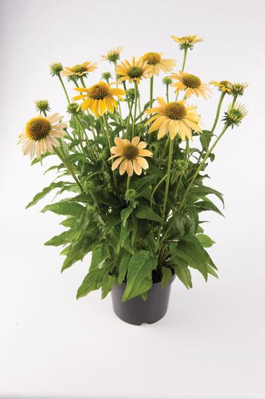 mellow yellows sadzonki z kwiatami