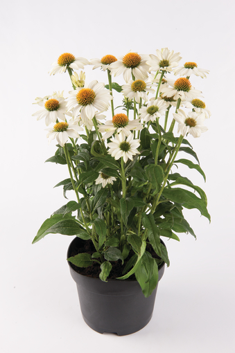 jeżowka purpurowa sadzonka z białymi kwiatami