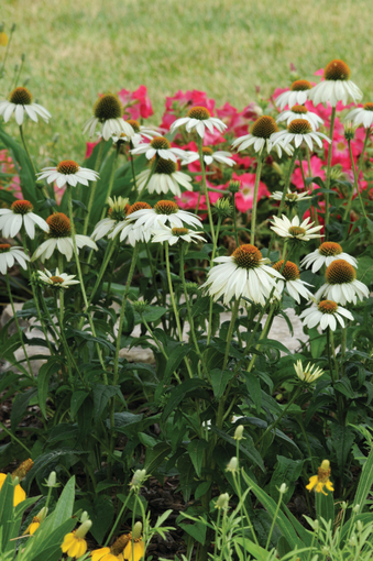 jeżówka biała podczas kwitnienia