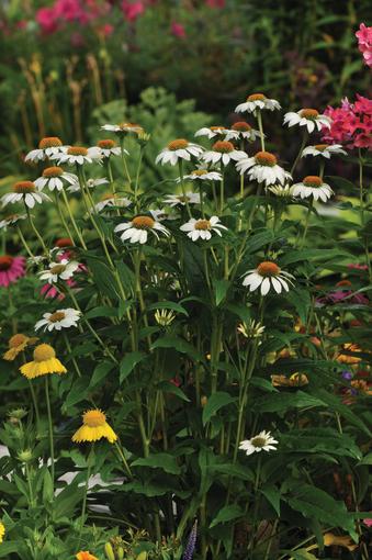 jeżówka o białych kwiatach na rabacie