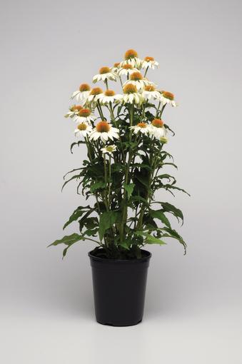zajebista sadzonka jeżówki purpurowej o białych kwiatach