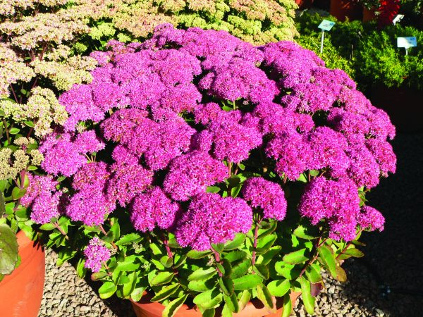 rozchodnik karpacki w ogrodzie jako kwiat jesienny