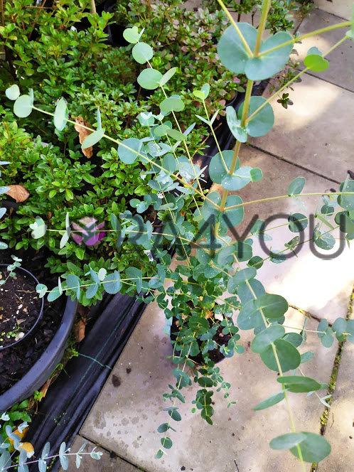 eukaliptus w doniczce 2l