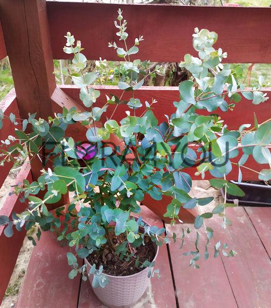 Eukaliptus górski niebieski jako krzew w donicy na drewnianym tarasie