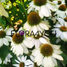 obfite kwitenienie w ogrodzie białej jeżówki powwow white