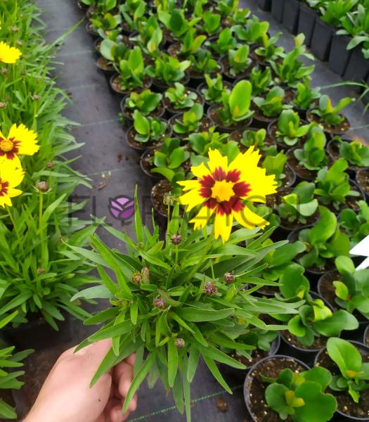 nachyłek wielkokwiatowy sadzonka przykładowa