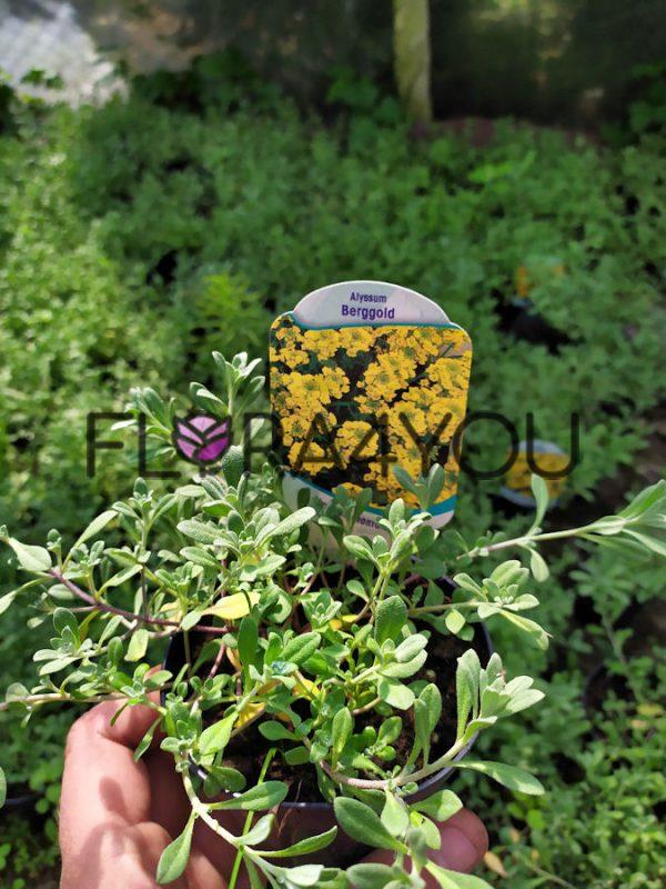 smagliczka górska sadzonki latem z etykietą
