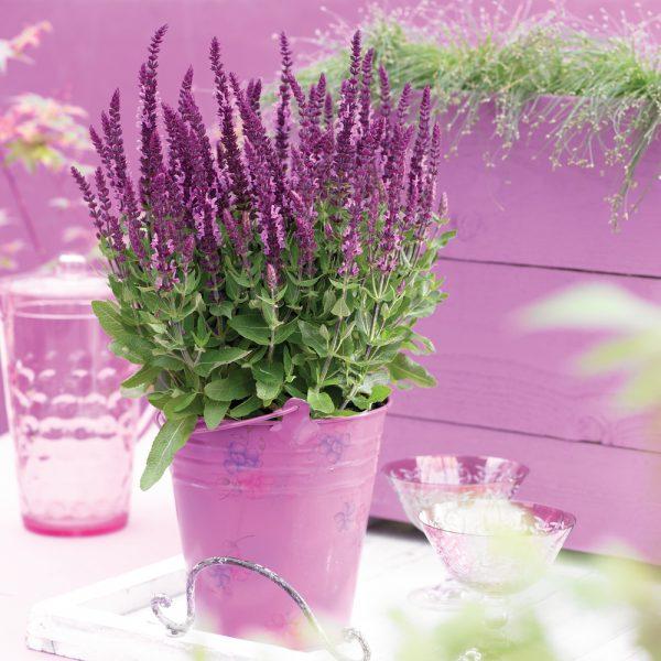 szałwia omszona jako kwiat na balkon