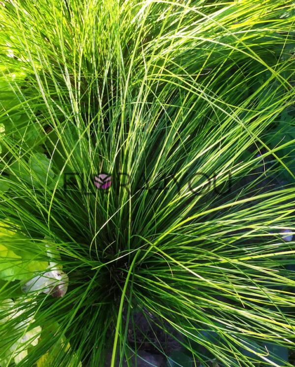 turzyca psheonix green w ogrodzie na rabacie pokzowej z bylinami