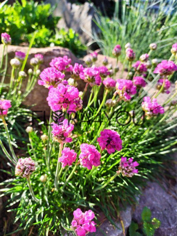 zawciąg nadmorski kwitnie na różowo
