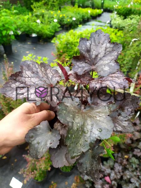 sadzonki zurawki plum crazy w czerwcu z wiosennej produkcji