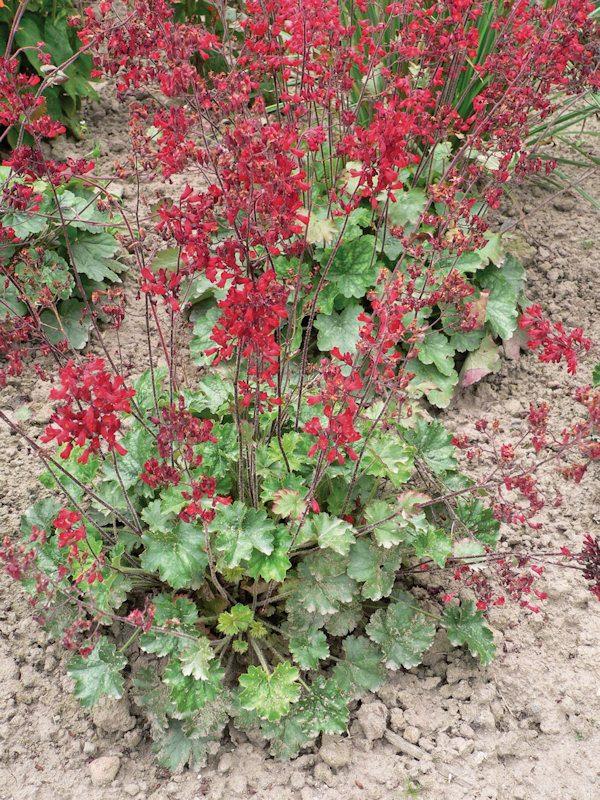 duża sadzonka żurawki kwistej o dekoracyjnych kwiatach