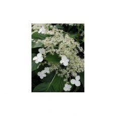 kwiaty hortensji pnącej