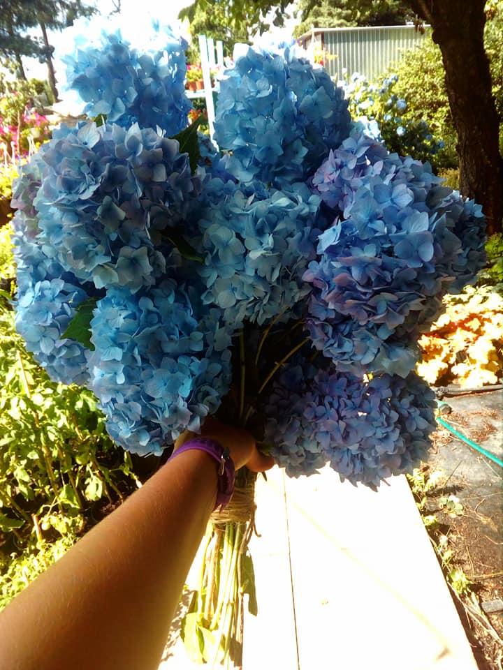bukiet niebieskich kwiatów hortensji