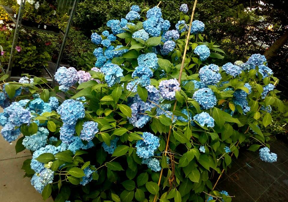 kwitnący na niebiesko krzew hortensji ogrodowej