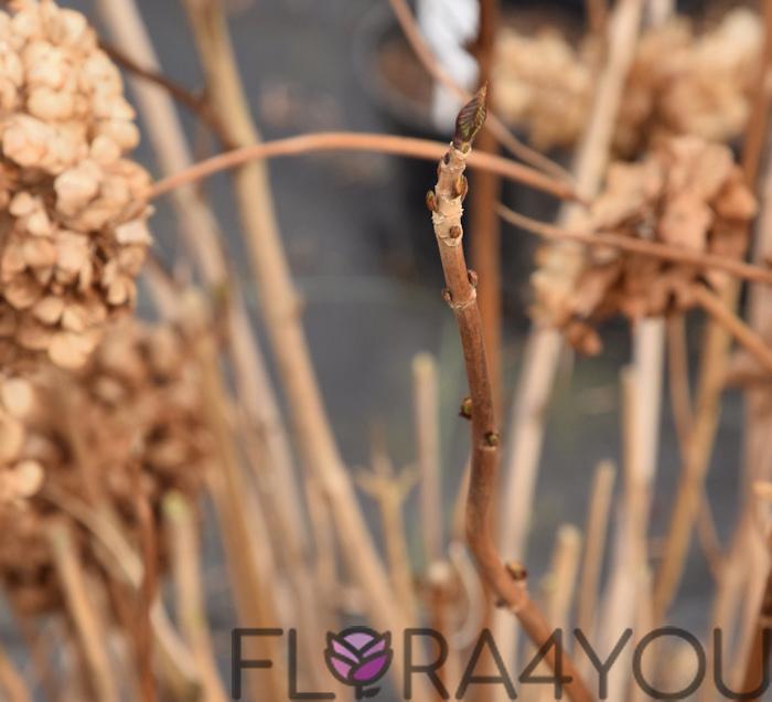pąki hortensji ogrodowej zimą