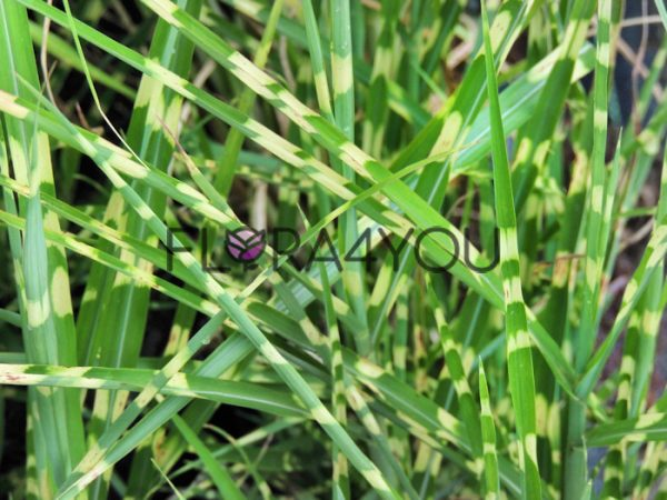 miskant chiński zebrinus widok na liście z bliska