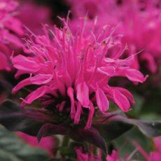 kwiat pysznogłowki ogrodowej