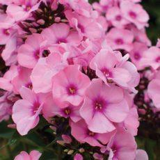 kwiaty floksa z bliska