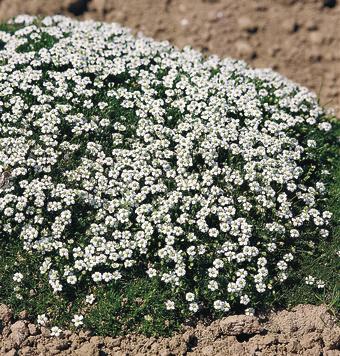 poducha białych kwiatów karmnika ościstego