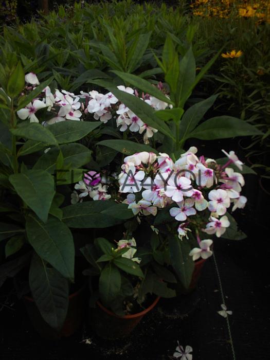 floks wiechowaty z białymi kwiatami