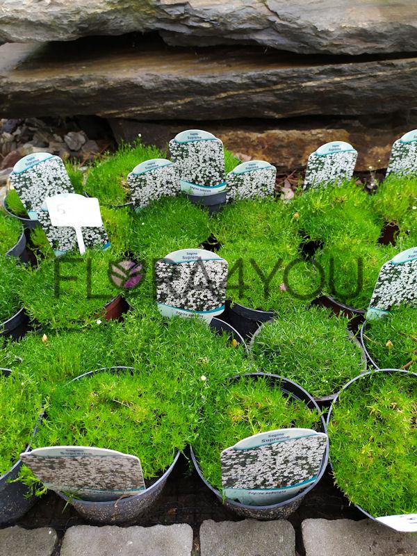 karmnik ościsty sadzonki latem