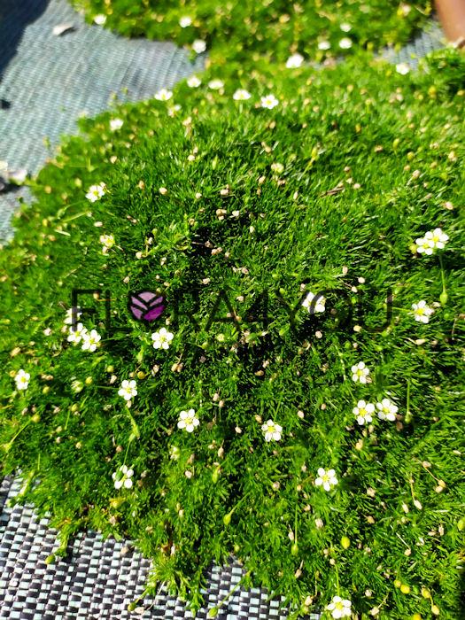 karmnik ościsty supreme z kwiatami latem