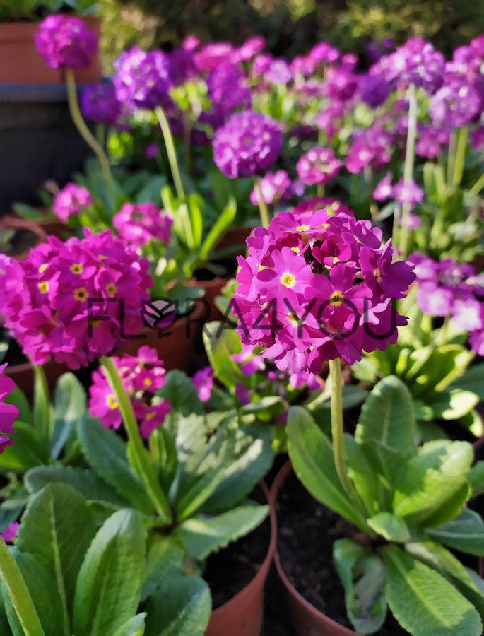 pierwiosnek ząbkowany sadzonki wiosennych kwiatów