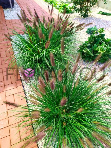 rozplenica japońska viridescens w ogrodzie
