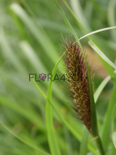 kwiatostan rozplenicy japonskiej w odmianie viridescens