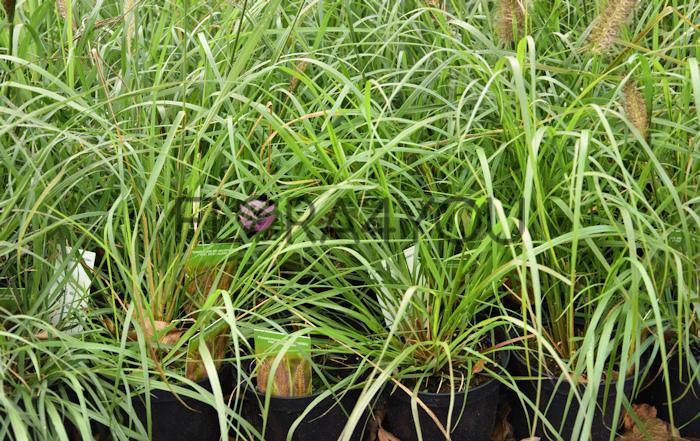 sadzonki rozplenicy viridescens