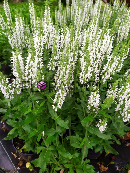 szałwia biała medium w czasie kwitnienia real foto sadzonek
