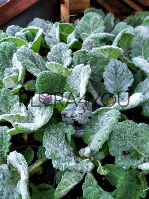 szałwia srebrzysta artemis młode sadzonki