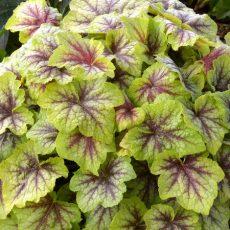 zdjecię żuraweczki fire frost z pięknym żyłkowaniem liści w drugiej połowie sezonu ogrodowego