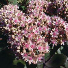 kwiatostan rozchodnika matrona