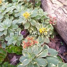 rozchodnik Variegatum piękne kwiaty we wrześniu na naszym mateczniku