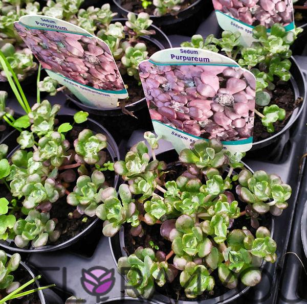 zdjecie sadzonek rozchodnika łopatkowego w odmianie purpureum
